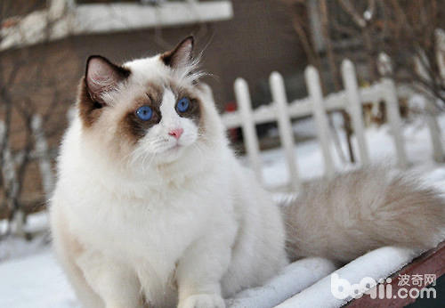 才能保证肚子里小猫咪的健康,不合理的营养和营养不良,会导致猫咪过肥