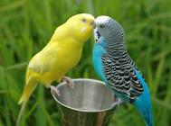 宠物鸟发情有何症状怎么处理