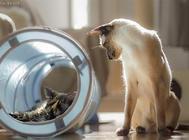 猫咪吃巧克力会中毒吗?