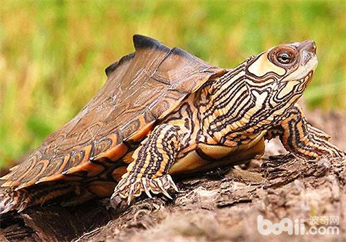 比地图龟(详情介绍)-推荐五种适合新手饲养的水龟品种