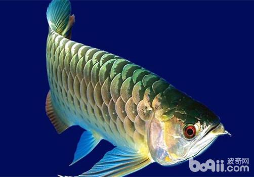 龙鱼常见疾病有哪些?