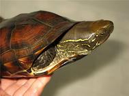 推荐五种适合新手饲养的水龟品种