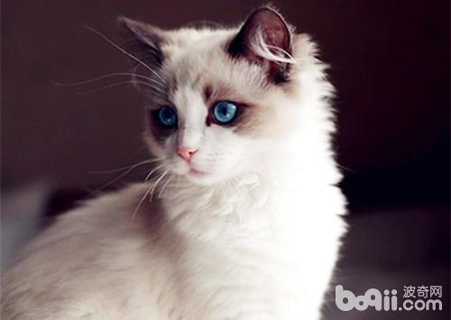 布偶猫训练必不可少
