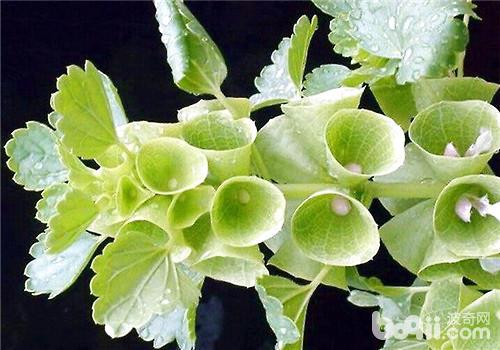 贝壳花的种植方法介绍