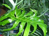 龟背竹叶片发黄的原因及处理方法