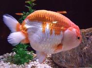 金魚的挑選技巧