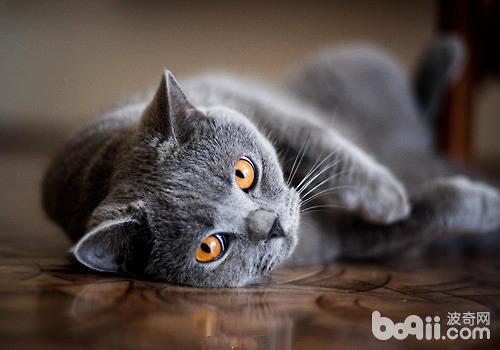 什么品种的猫咪最好养