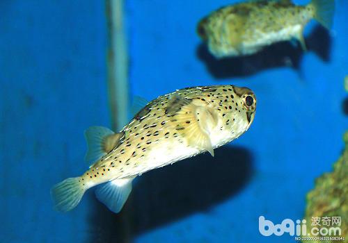 观赏鱼眼病的治疗方法有哪些