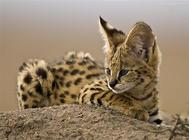 薮猫多少钱一只?