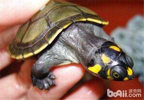 黄头侧颈龟过冬要注意什么?