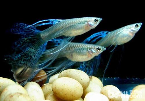 饲养孔雀鱼的误区有哪些