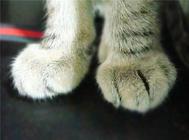 猫咪脚下的毛要修剪吗?