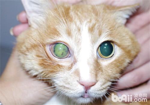 猫咪眼部疾病——青光眼