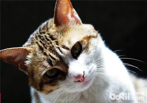 中国本土的猫咪品种有哪些?