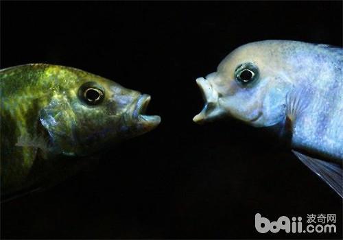三湖慈鲷的饲养方法及心得