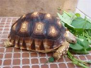 如何选择宠物龟品种?