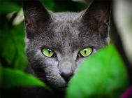 俄罗斯蓝猫多少钱一只?