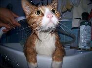 为猫洗澡的注意事项有哪些?