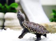 龟的寿命到底有多长?