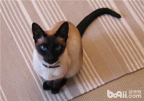 暹罗猫的性格是怎样的?