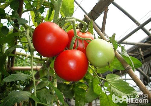 番茄嫁接好处之方法介绍