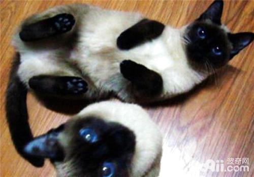 什么猫和暹罗配种比较好?