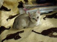 新加坡猫价格,新加坡猫多少钱一只?