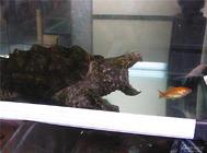 鳄鱼龟的饲养方法,鳄鱼龟好养吗?