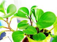 豆瓣绿烂根的原因及处理方法