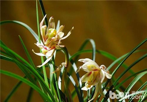 影响兰花正常开花的几种原因分析