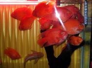 发财鱼常见疾病有哪些