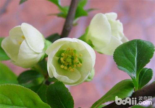 含笑花的养护要点介绍