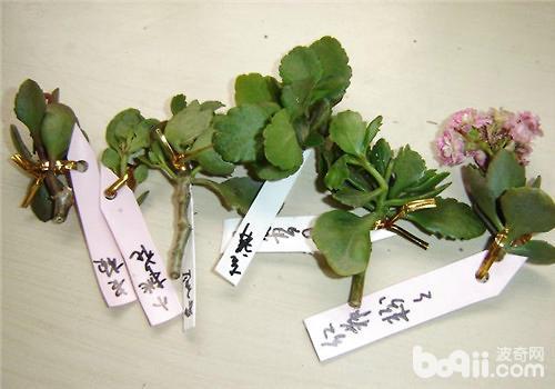 长寿花的种植及修剪方法