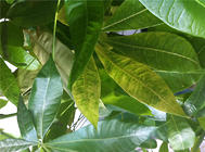 发财树叶子发黄是怎么回事?
