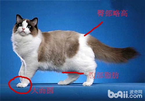 布偶猫品相身体解析