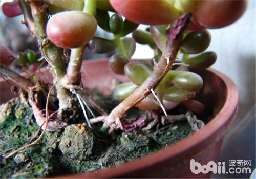 多肉植物生气根及徒长的原因及处理