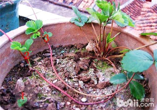 草莓的繁殖方式之葡萄茎繁殖