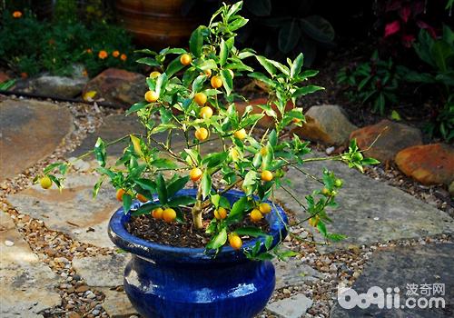 金桔的盆栽方法介绍