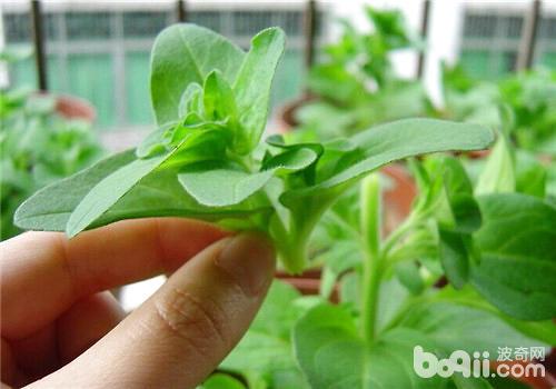 给植物摘心的目的与注意事项