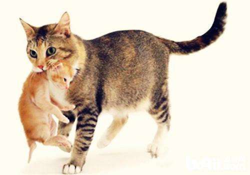 母猫吃小猫有什么预兆图片