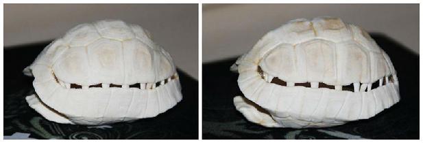 陆龟缺钙的症状及解决方法