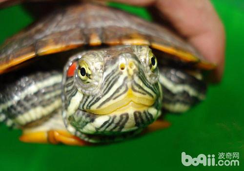 红耳龟饲养方法,红耳龟怎么养图片