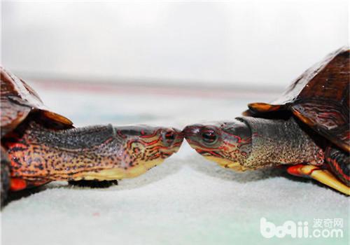 洪都拉斯木纹龟多少钱?