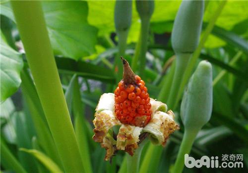 滴水观音什么时候开花?滴水观音开花有毒吗?