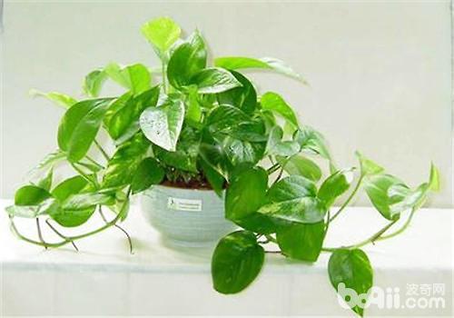 绿萝吊兰的养殖方法