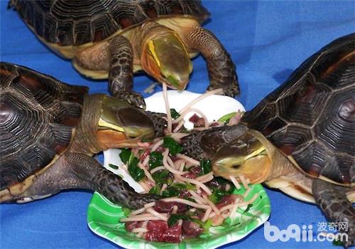 黄缘闭壳龟喜欢吃什么食物