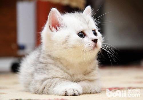 猫咪幼崽饲养问题全解析