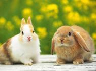 喂食幼兔要避免哪些误区