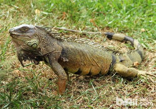 绿鬣蜥饲养方法,绿鬣蜥怎么养?