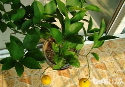 可爱柠檬壁纸小清新自然
